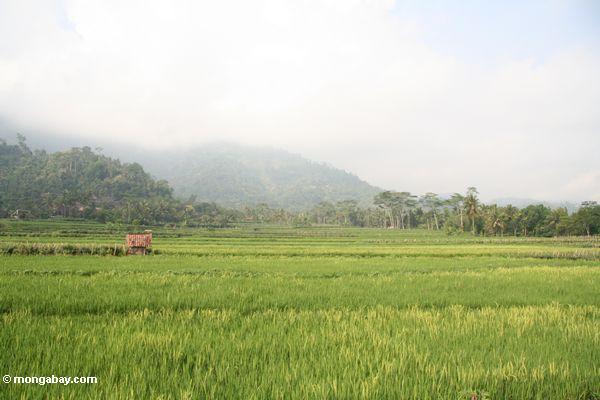 Reispaddys nahe Borobudur mit bewaldeten Bergen im Abstand