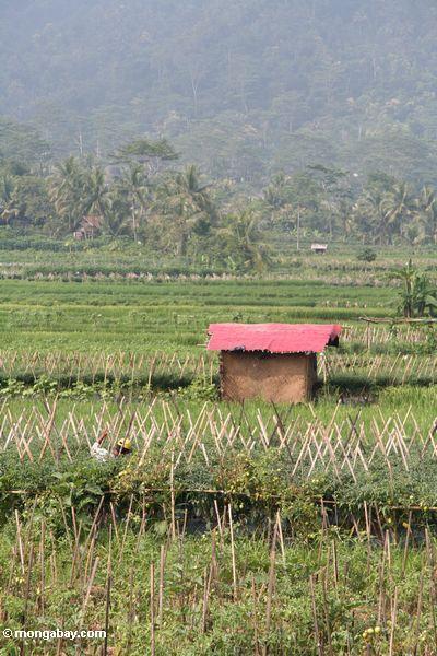 Rotes Dach einer Hütte unter Reispaddys und -paprika fängt in Java