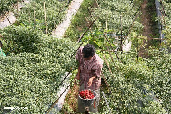 Mann, der chilis in Java Java