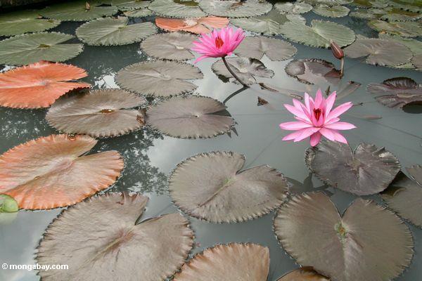 Rosafarbene Lotosblumen und Lilieauflagen