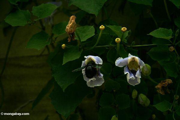 Großer schwarzer Honeybee, der auf eine Windeblume Java