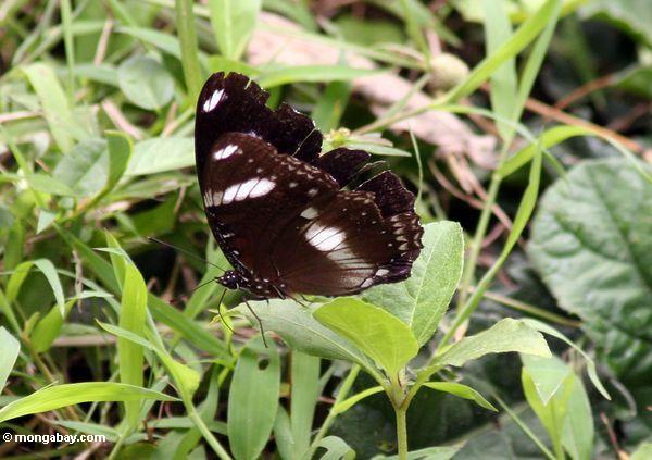 Schwarzer Schmetterling mit weißen Markierungen in Java