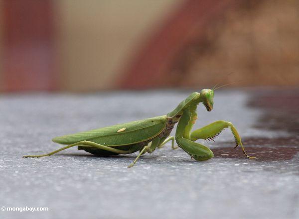 Grünes mantid