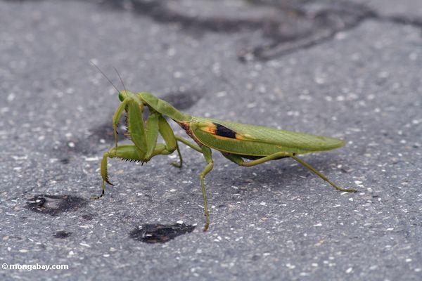 Grüner betender Mantis, der seine Augen Java