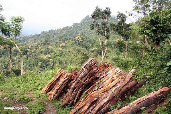 Brennholz schnitt vom Regenwald von Java