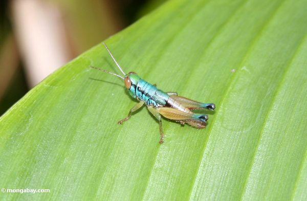 Blaugrüne und kupferne farbige Heuschrecke mit großen roten Augen und gelben Antennen