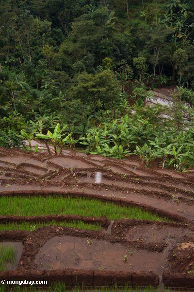 Terassenförmig angelegter Reis und Bananen
