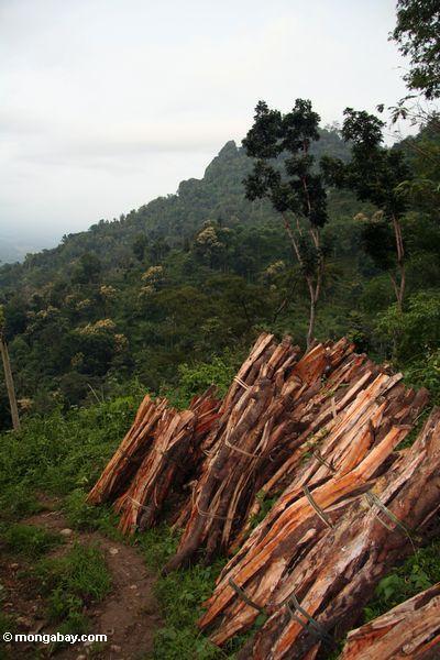 Brennholz schnitt vom rainforest von Java