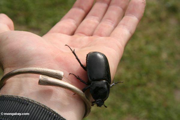 большой черный жук по лицу рукой