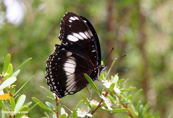 Schwarzweiss-Schmetterling auf Blume
