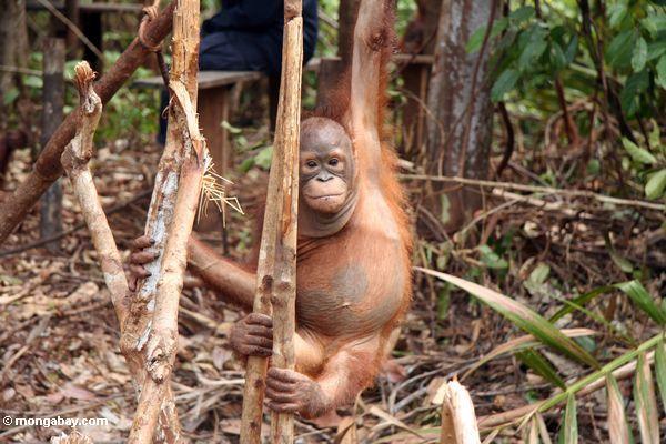 Ex-Gefangener orangutan erlernenwaldüberleben Fähigkeiten in der Orangutan Obacht-Mitte und der Quarantäne in Pangkalan