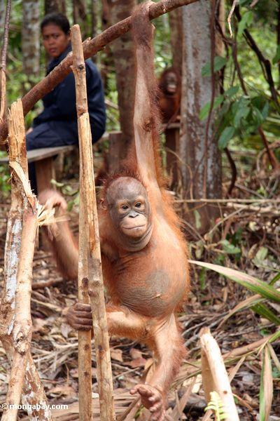 Baby orangutan, die Seile in der Orangutan Obacht-Mitte und der Quarantäne in Pangkalan Kalimantan