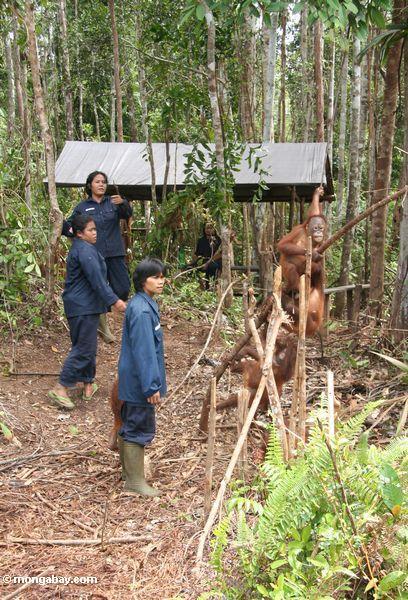 Arbeiter mit Orangutans in der Orangutan Obacht-Mitte und der Quarantäne in Pangkalan