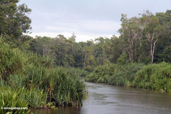 Pandanuspalmen entlang dem Sekonyer Fluß