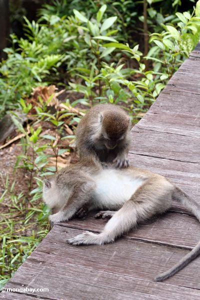 Macaques, das nach Läusen Kalimantan