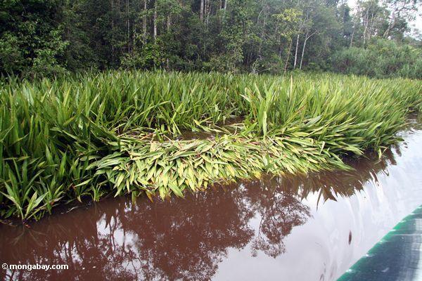 Krokodilnestaufstellungsort auf dem Sekonyer Fluß