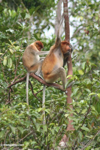 Proboscis-Affe (Nasalis larvatus) pflegend in einem Baum
