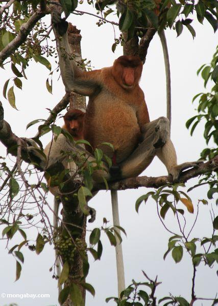 Groß-gerochener männlicher Proboscis-Affe mit weiblichem