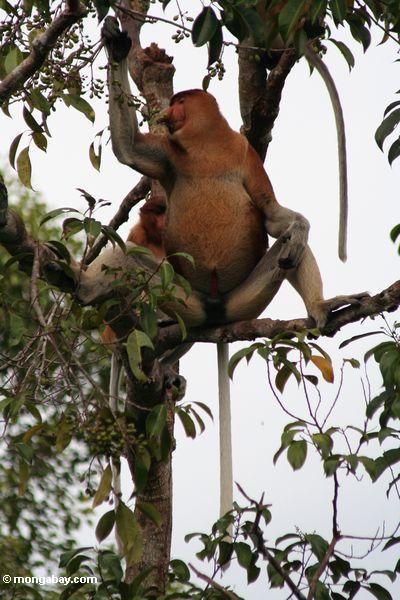 Groß-gerochener männlicher Proboscis-Affe, der Frucht im rainforest Kalimantan