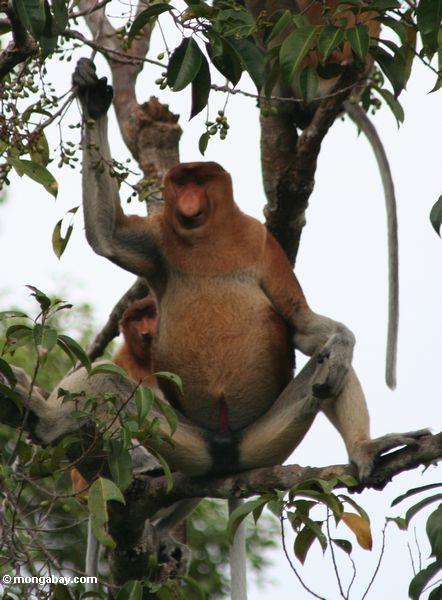 большой нос мужчины нос обезьяна (nasalis larvatus) в дереве