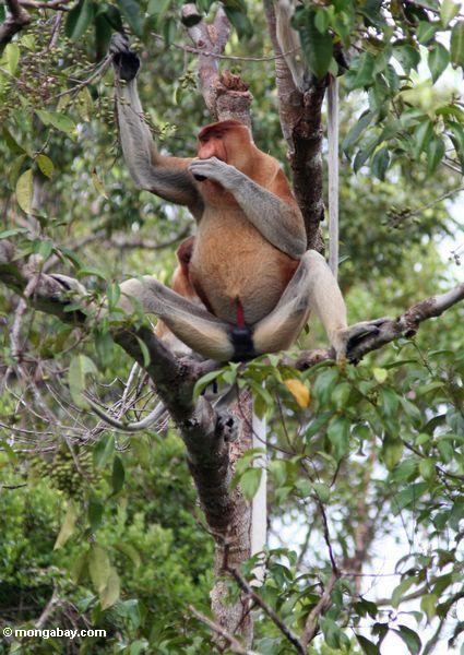 Männlicher Proboscis-Affe, der seine große Nase mit seiner Hand Kalimantan