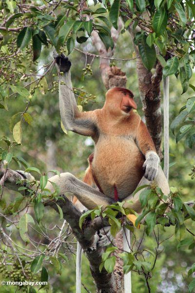 monkey eating banana Royalty