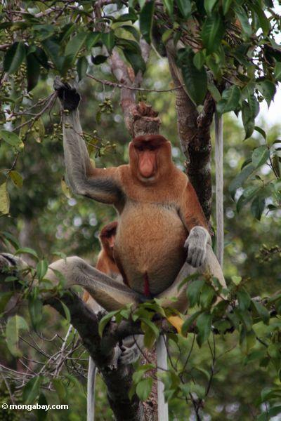 Domiant männlicher Proboscis-Affe, der Frucht Kalimantan
