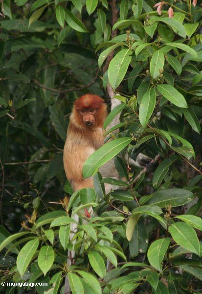 Weiblicher Proboscis-Affe (Nasalis larvatus) im Baum