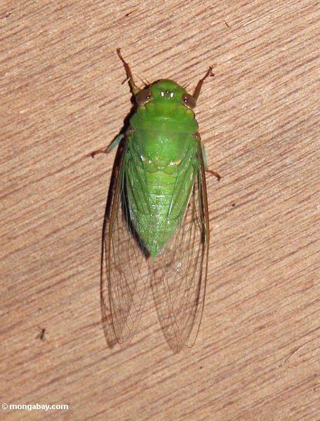 Hellgrüne farbige Zikade
