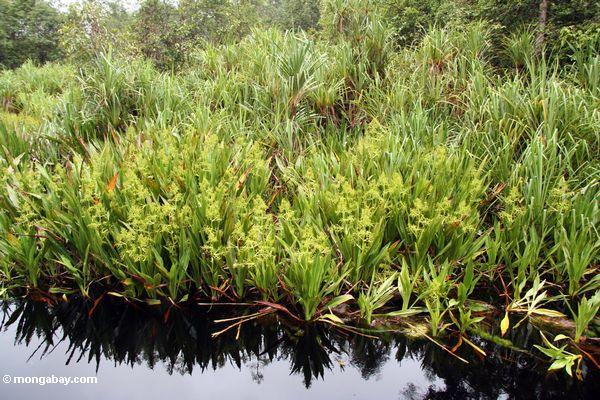Pandanuspalmen und blühende Wasser lillies entlang dem Fluß, der zu Lager undichtes Kalimantan