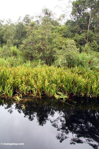 lillies воды и pandanus пальмы вдоль реки Блэкуотер ведущей в лагерь неплотный