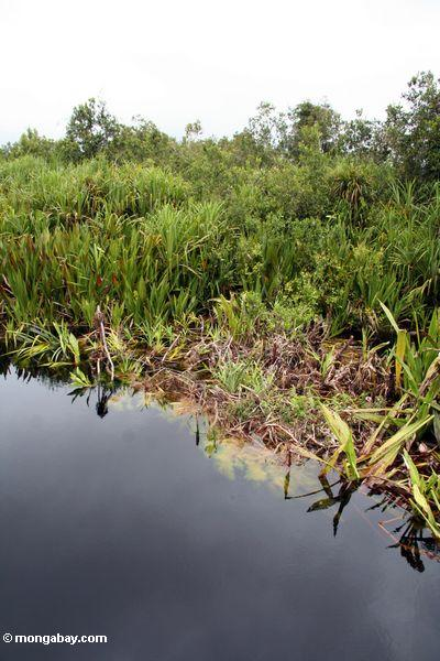 Lillies und Pandanuspalmen entlang blackwater Fluß Kalimantan