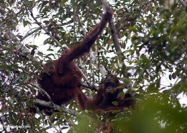 бывшими оранг плен Борнео-utans в дерево