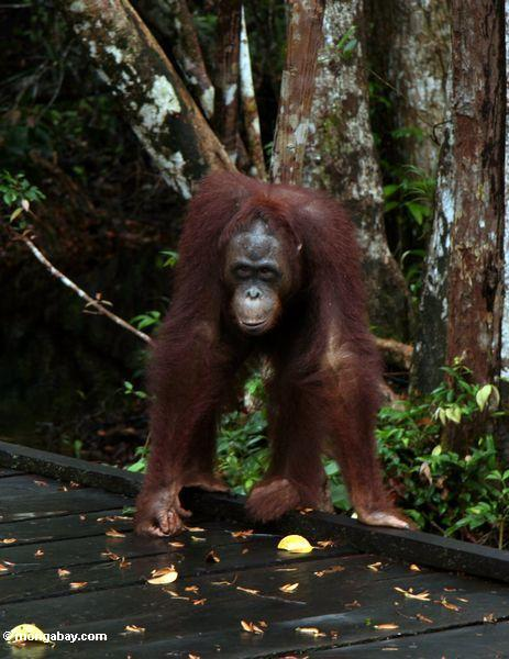 Borneo Orang-utan, das auf Promenade Kalimantan