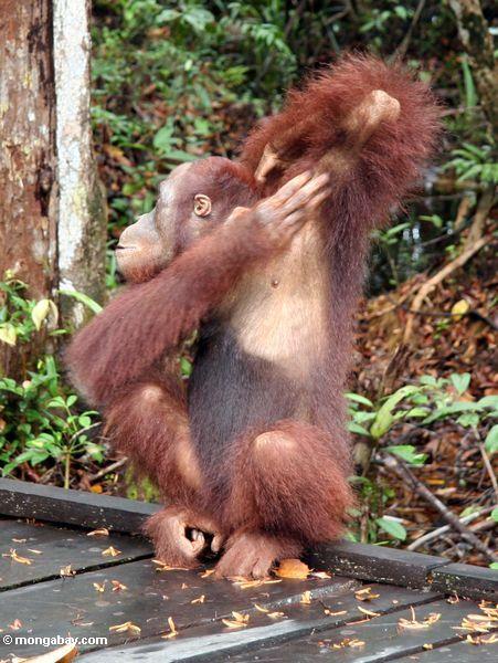 Борнео орангутанг царапинам подмышка