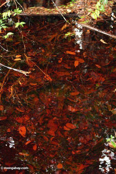 Blackwater Sumpf in Borneo