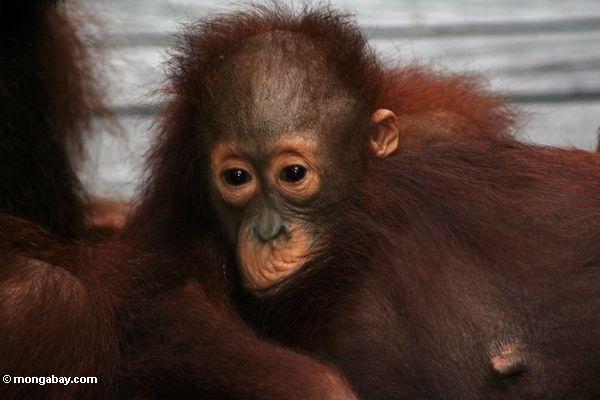 Orangutan Anhaften des Babys Mutter orangutan