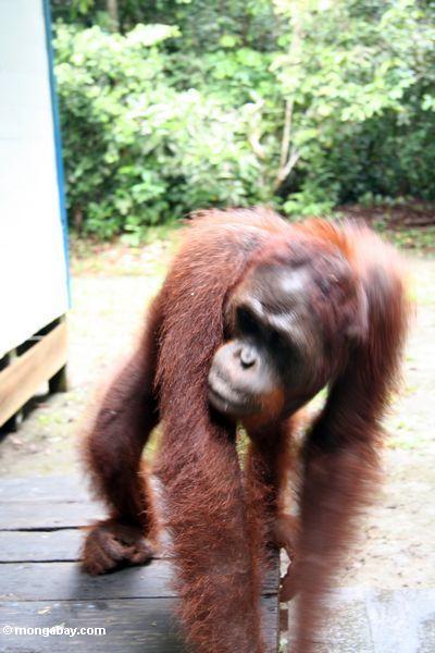 Gehen orangutan in der Bewegung