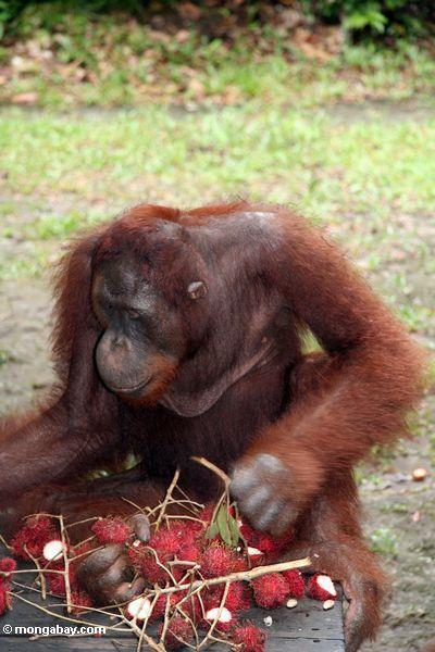 Orangutan, das Rambutan auf Portal Kalimantan