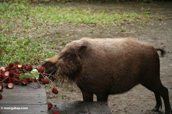 Bornean das bärtige Schwein, das auf Rambutanfrucht einzieht, verließ auf Lagerportal