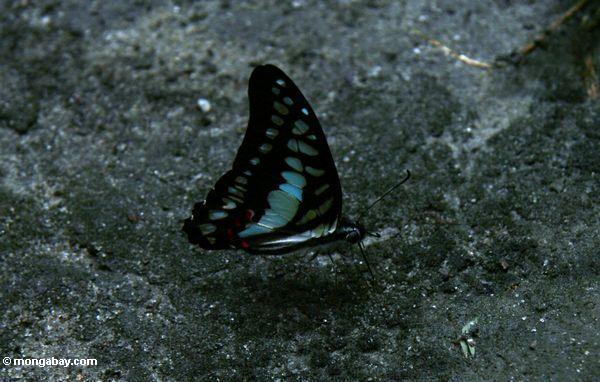 Blauer und schwarzer Schmetterling in Borneo; Flügel geschlossenes