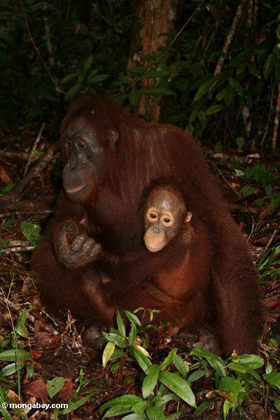 Orangutan mit Baby auf Waldfußboden Kalimantan