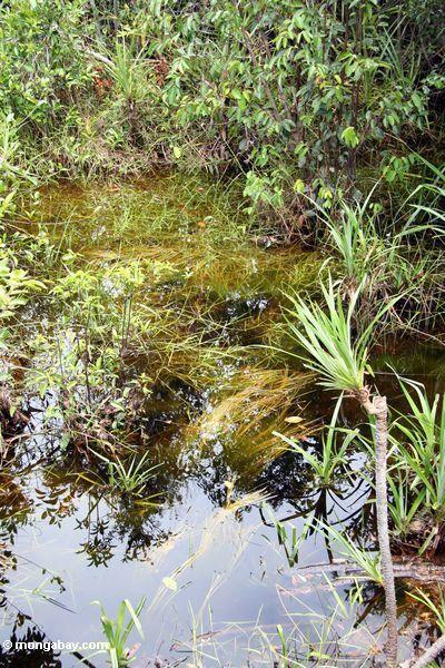 Blackwater Sumpfvegetation