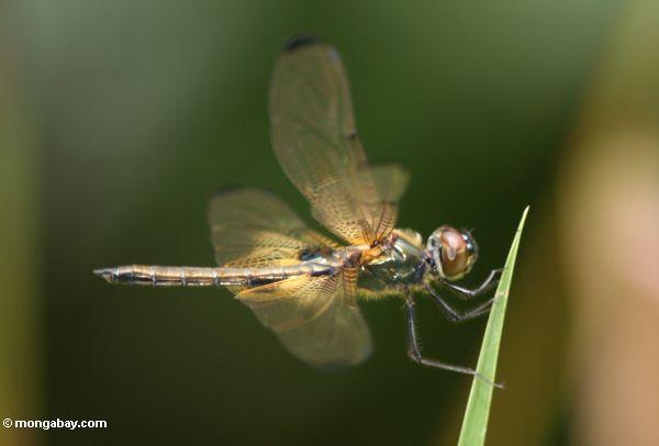 Brachydiplax Libelle in Kalimantan