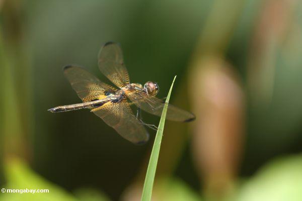 Brachydiplax Libellesorte