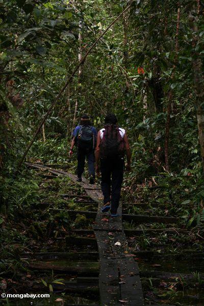 Lager undichter Orangutan Forschung und Rehabilitationmittelpersonal, der durch Wald Kalimantan