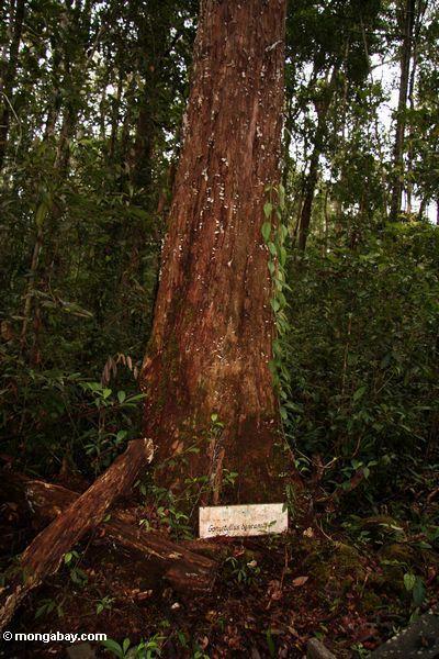 Рамин дерево