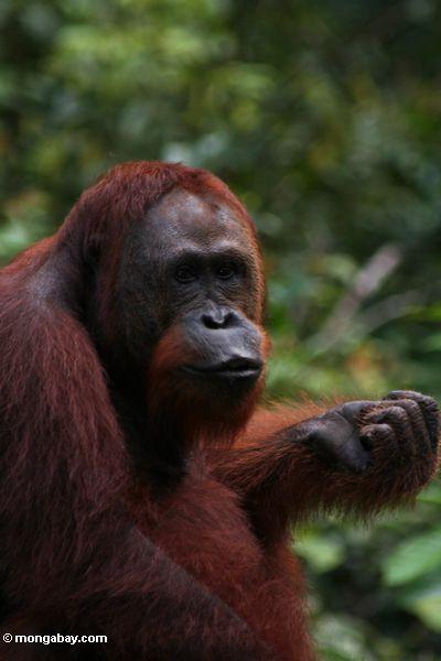 Erwachsener orangutan mit Faust-zusammengepreßtem