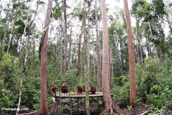 Gruppe orangs auf einziehender Plattform Tanjung Puting im Nationalpark