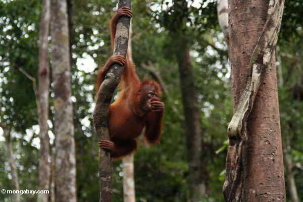 Junges orang-utan, einen waldigen Liana, beim Essen eines Rambutan Kalimantan